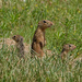 Thirteen-lined Ground Squirrel family
