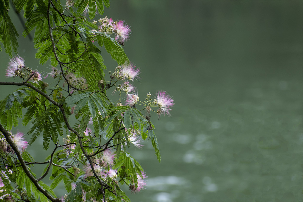 Mimosa over the Etowah by k9photo