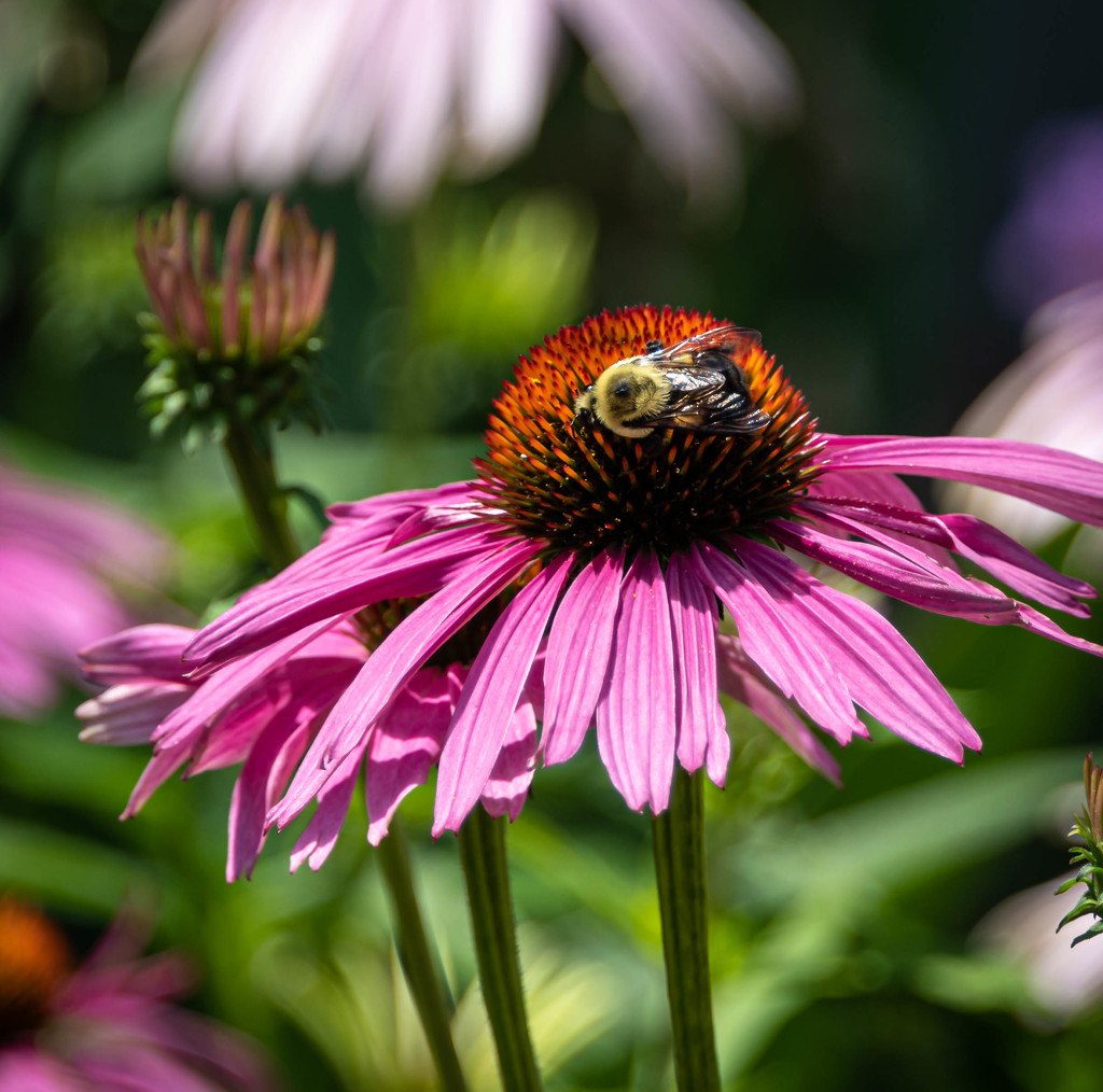 Cone Flower and Bee by marylandgirl58
