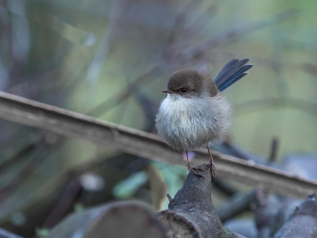 Blue wren by gosia