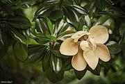27th Jun 2020 - Southern Magnolia