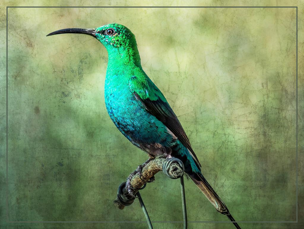 A Malachite Sunbird  by ludwigsdiana