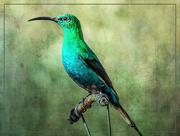 30th Jun 2020 - A Malachite Sunbird
