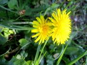 30th Jun 2020 - Footpath daisies