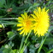 Footpath daisies