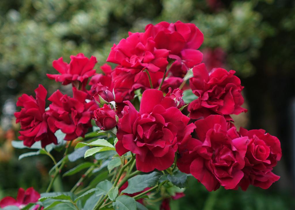 Roses on Bloomfield Park by neiljforsyth