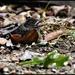 RK3_9992 Poor litte blackbird