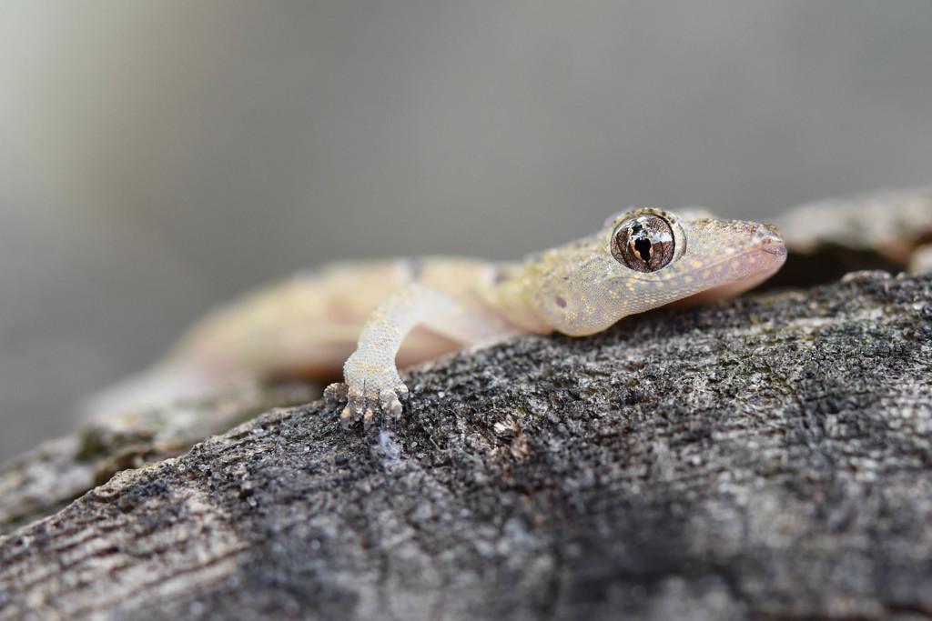 Baby gecko  by shylaine3304