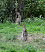 30th Jun 2020 - Alert Rabbits