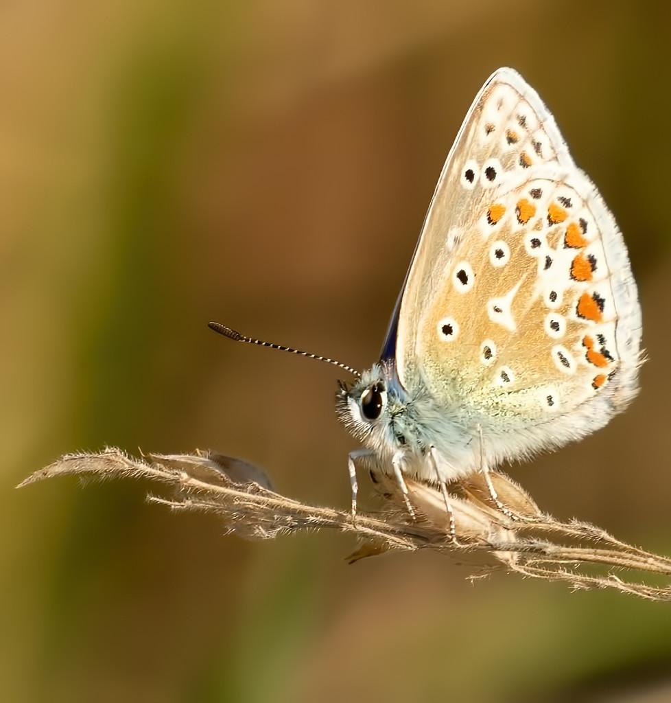 Blue Butterfly by shepherdmanswife