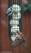 30th Jun 2020 - A Sparrow and a Blue Tit