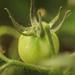 container tomato