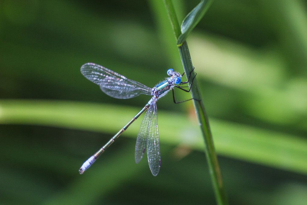 damselfly by aecasey