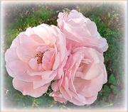 1st Jul 2020 - pink roses