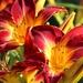 June 30: Lilies