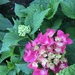 The Little Hydrangea that Could
