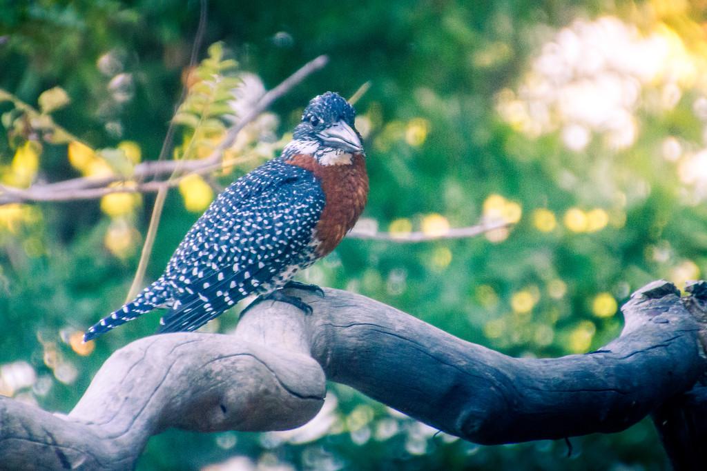 Giant Kingfisher by zambianlass