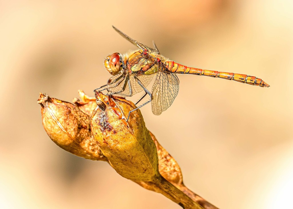 Dragonfly by shepherdmanswife