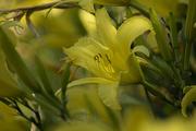 30th Jun 2020 - Yellow Lily