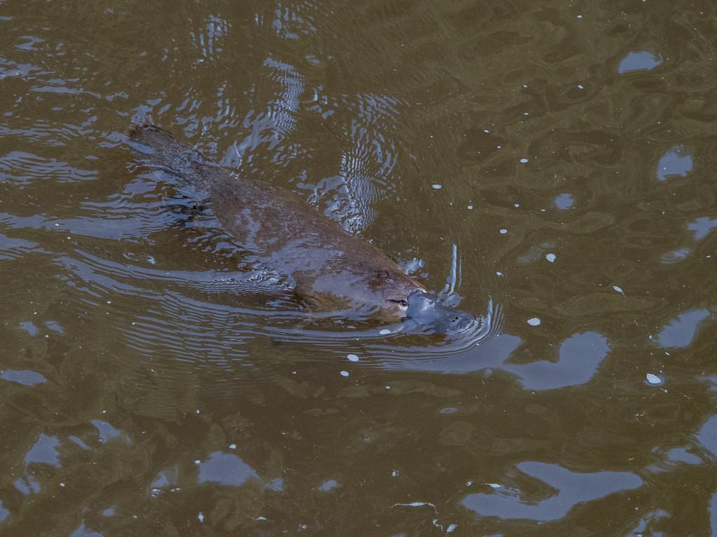 Platypus by gosia