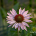 Pink Cone Flower by pej2