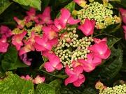 30th Jun 2020 -  Hydrangea Macrophylla Red