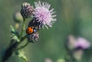 1st Jul 2020 - Seven-spot ladybird