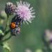 Seven-spot ladybird by rumpelstiltskin