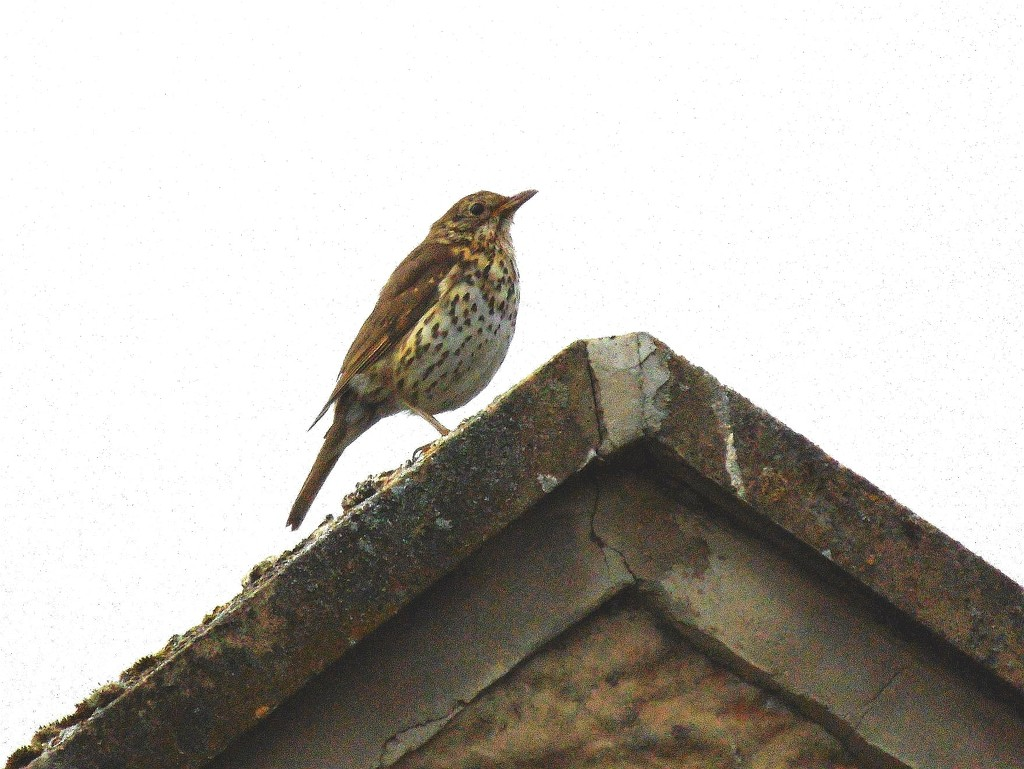 Song Thrush by grizzlyadventures