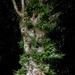 Old Oak Tree - for Mrs S