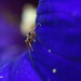 Ant harvesting pollen from petunia