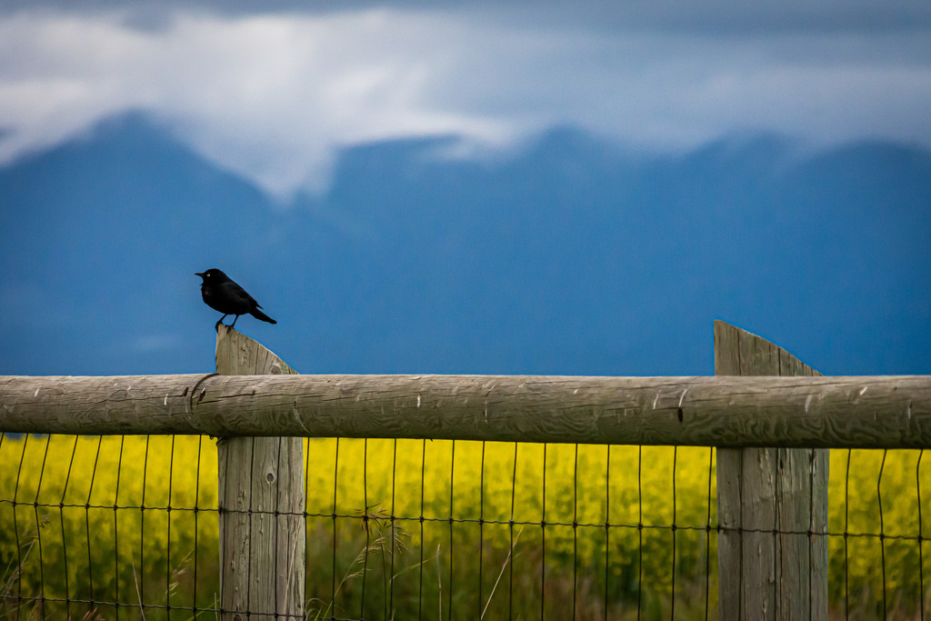 Stariling Enjoying the Canola Fields by 365karly1