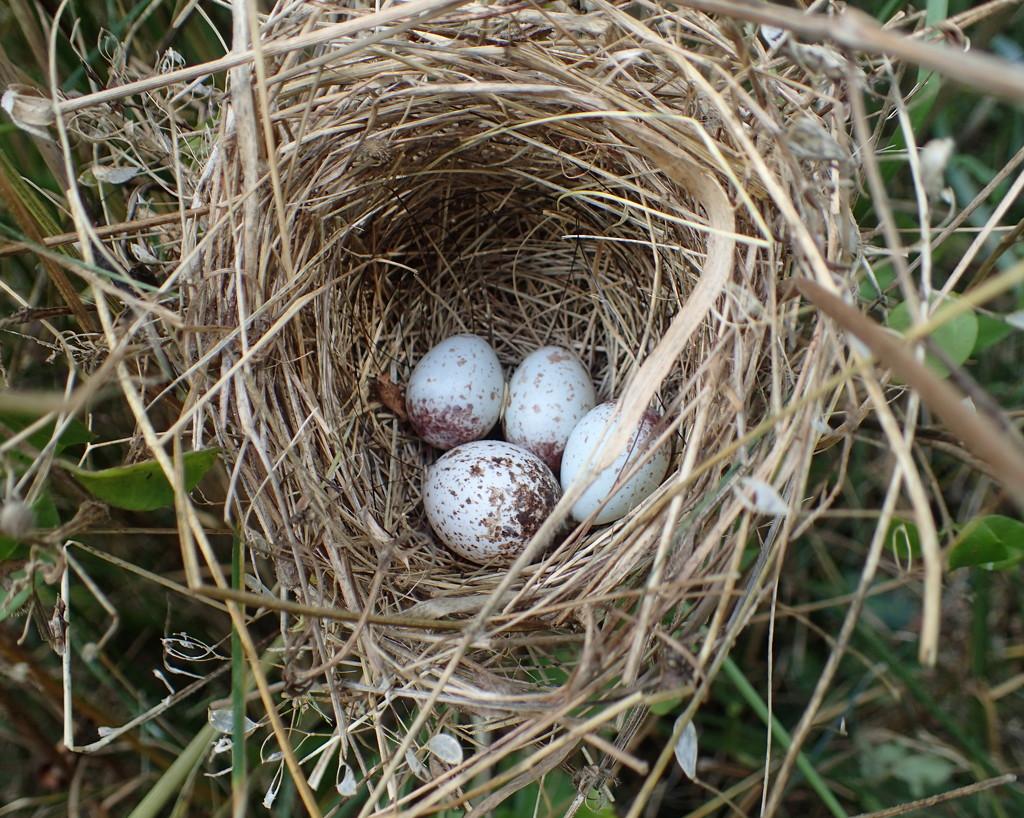 Indigo Bunting Nest by cjwhite