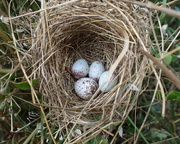 28th Jun 2020 - Indigo Bunting Nest