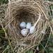 Indigo Bunting Nest