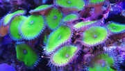 24th Jun 2020 - anemones with fluorescence