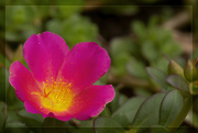 30th Jun 2020 - More Moss Roses