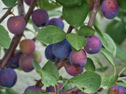 2nd Jul 2020 - Plums