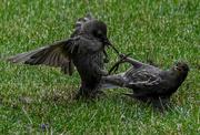 2nd Jul 2020 - Starling wars