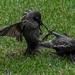 Starling wars