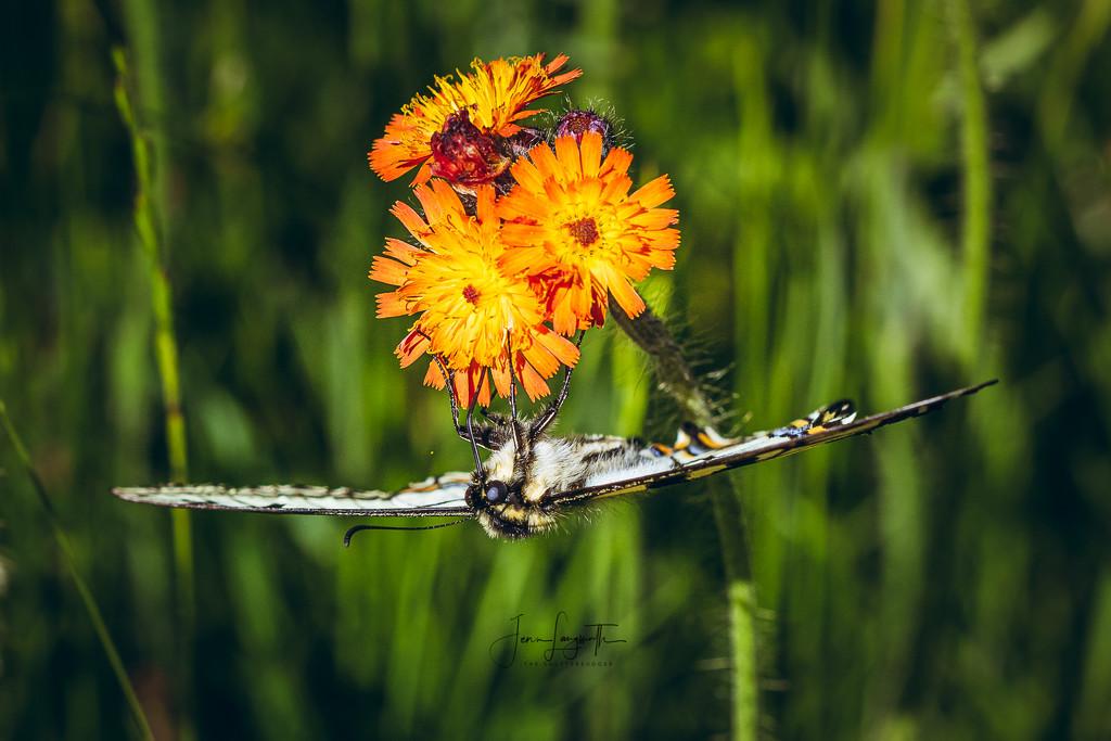 swallowtail by shutterbugger