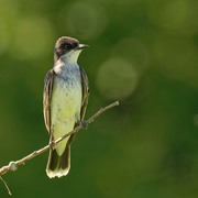 2nd Jul 2020 - eastern kingbird