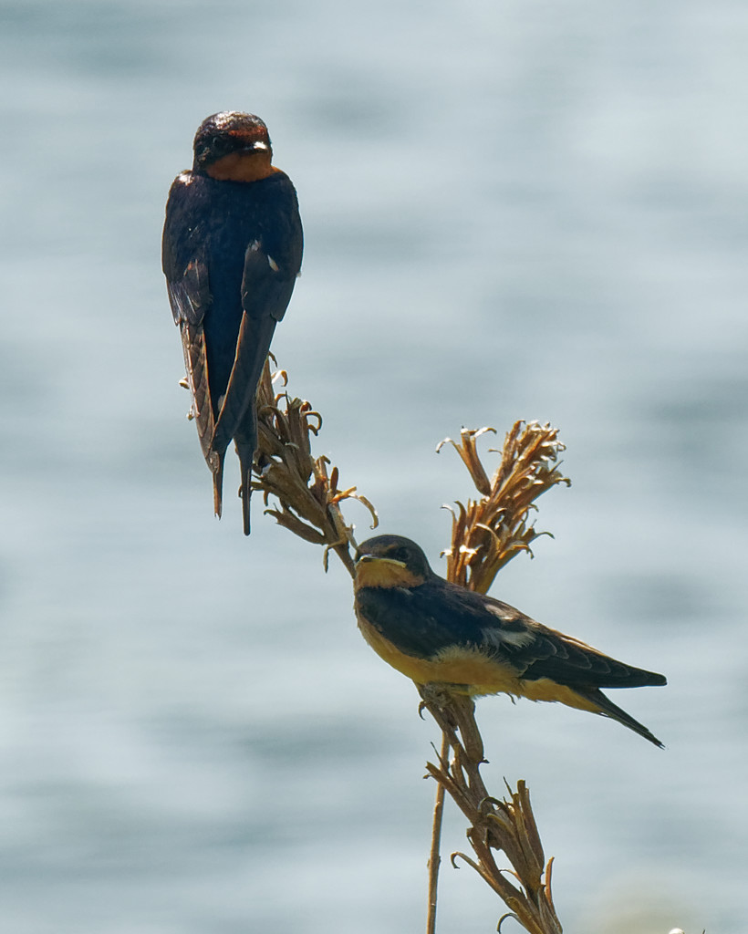 barn swallows by rminer