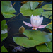 Lilies on the Tarn
