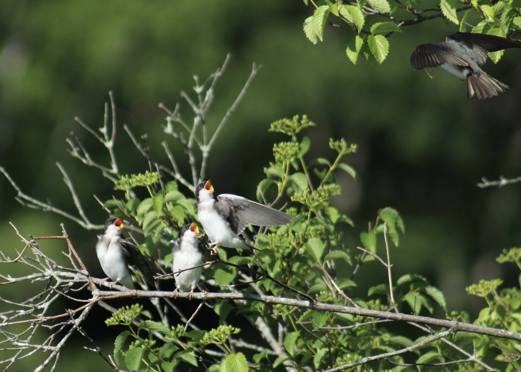Tree swallows waiting for breakfast. by rob257