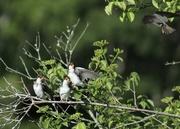 1st Jul 2020 - Tree swallows waiting for breakfast.