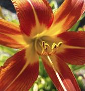 1st Jul 2020 - tiger lily