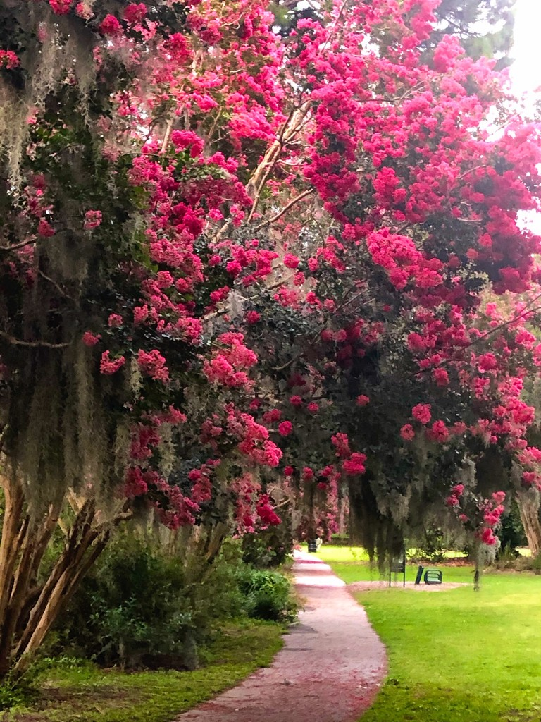 Crape myrtles in bloom, Hampton Park by congaree