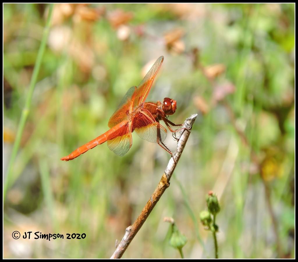 Dragonfly On A Stick... by soylentgreenpics