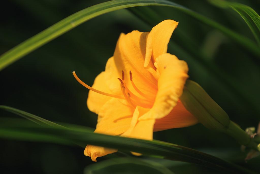 daylily by aecasey